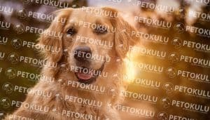 Golden Retriever  Sosyalleştirme
