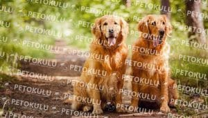 Golden Retriever köpeği tarihçesi